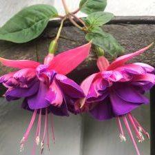 Fuchsia plantor