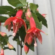 Fuchsia stickling